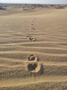 עקבות בעלי חיים בחולות סמר - צילום: החברה להגנת הטבע