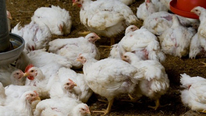 מליון וחצי פגרי עופות מסכנים את מי התהום בצפון הארץ