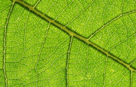 חוקרי הטכניון השיגו פריצת דרך בייצור אנרגיה ירוקה מעלים בעזרת מערכת פוטו-סינתטית טבעית